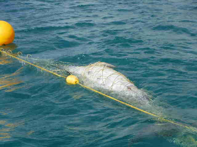 Dolphin caught inside shark net