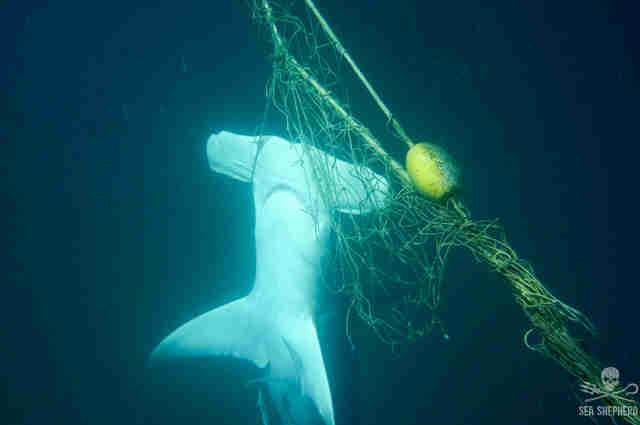 A hammerhead shark caught in a shark net in Australia