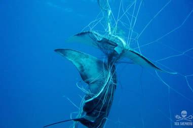 Two rays caught in shark net in Australia