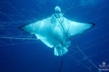 Ray caught in a shark net in Australia