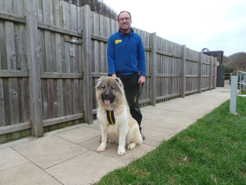 caucasian shepherd britain rescue puppy