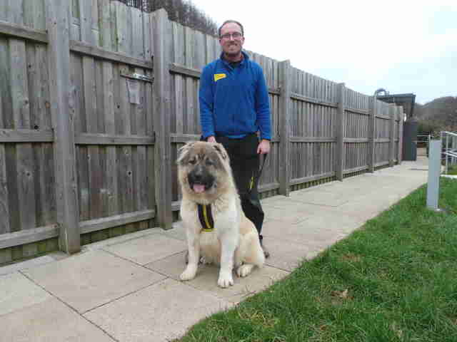 caucasian shepherd britain rescue puppy