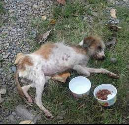 Emaciated and anemic dog in Costa Rica