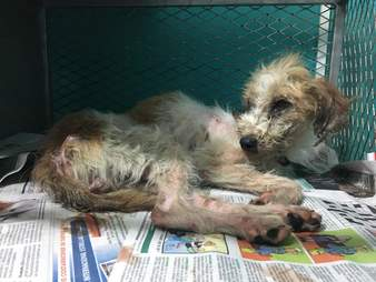 Dog feeling better after blood donation in Costa Rica vet office