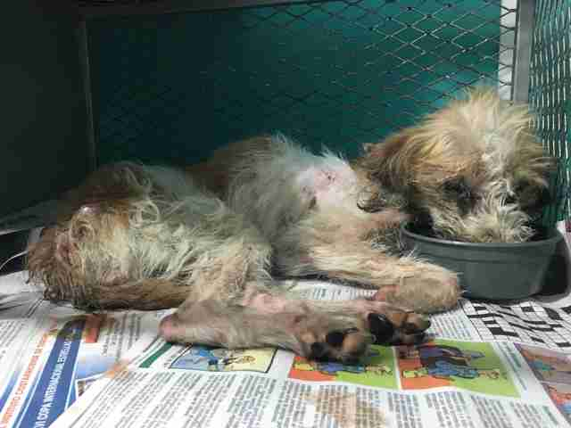 Emaciated anemic dog at veterinarian's office in Costa Rica