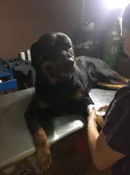 Dog blood donor in Costa Rica