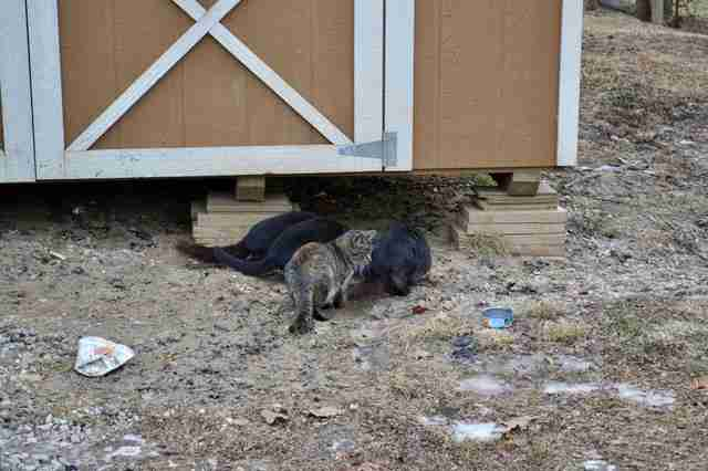 Cats found by burned down house in Illinois