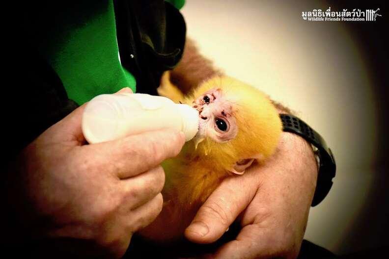 baby orphaned langur monkey thailand