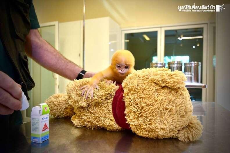 orphaned langur monkey thailand teddy bear