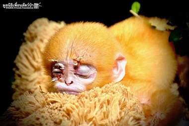 orphan baby langur teddy bear thailand