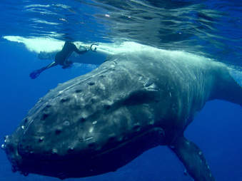 humpback whale saves diver shark