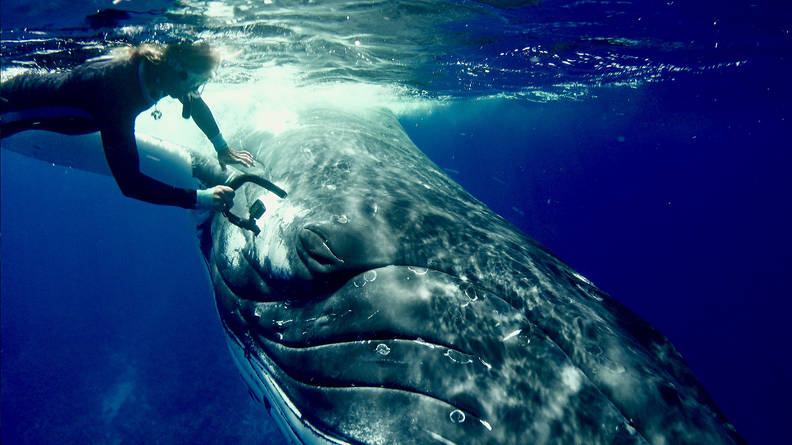 Humpback Whale Saves Marine Biologist From Tiger Shark During Dive - The  Dodo