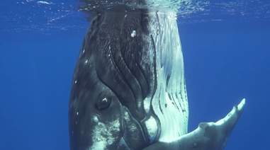 humpback whale cook islands