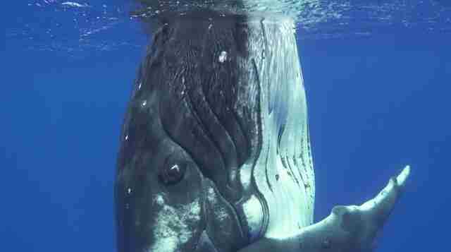 humpback whale cook islands