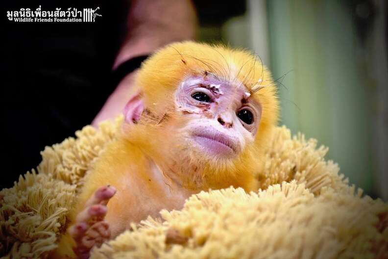 langur monkey baby orphan thailand
