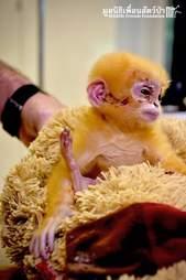 orphan langur monkey