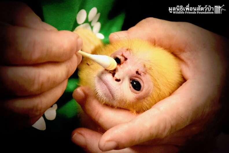 langur monkey orphan