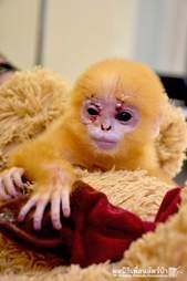 baby orphan langur monkey