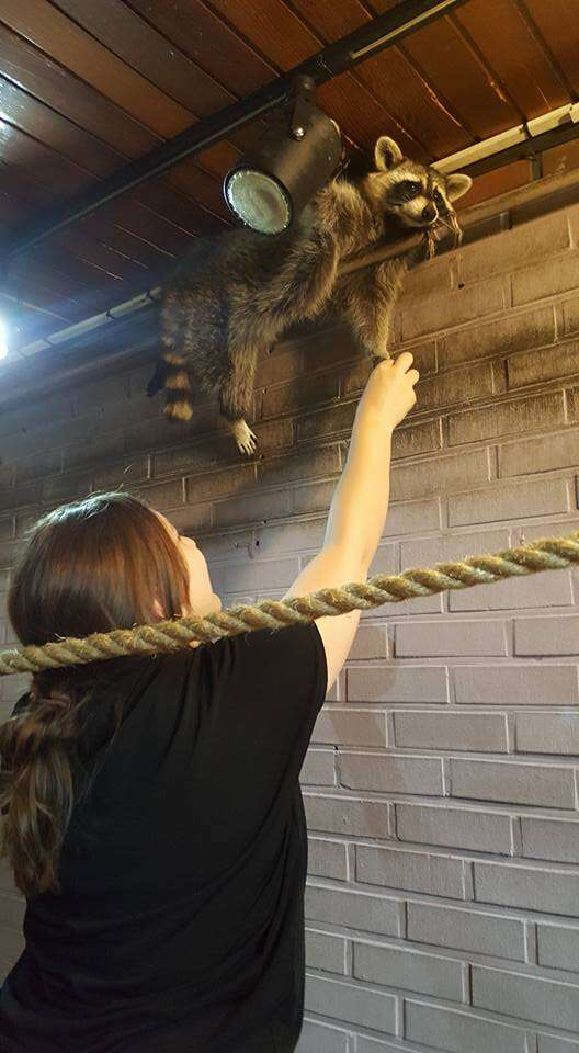 Woman trying to touch raccoon