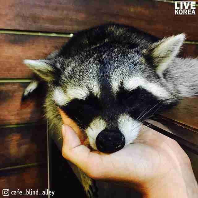 Person holding raccoon's face in their hands