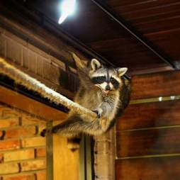Raccoon hiding on pipe above shop