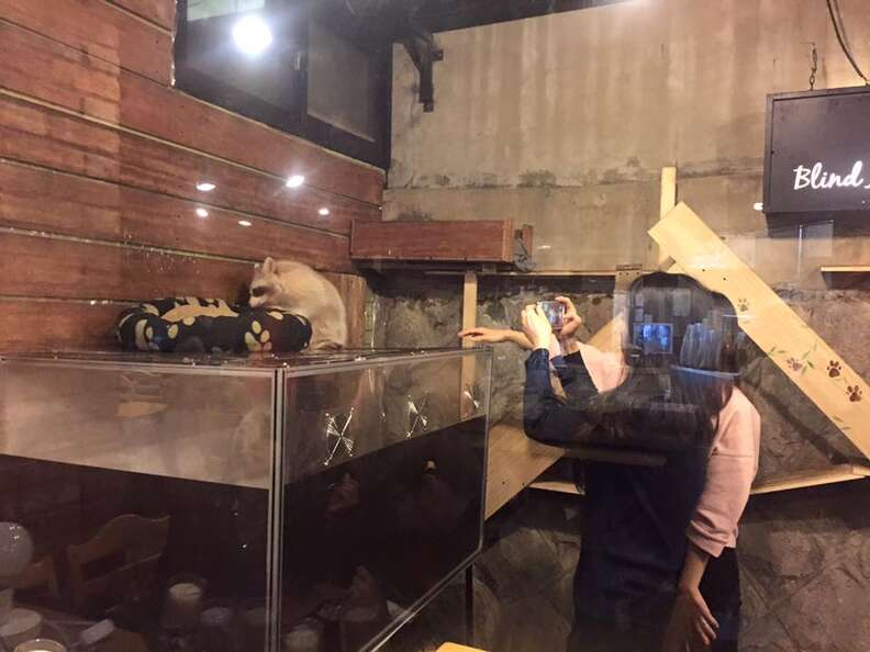 People taking photos of raccoon at cafe