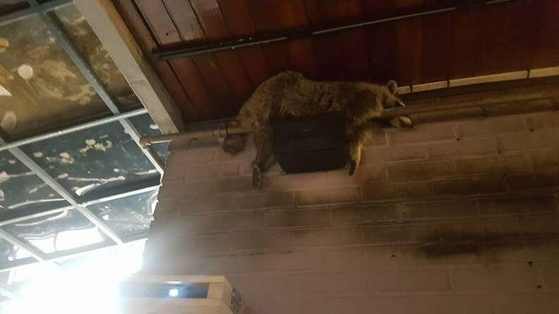 Raccoon lying across pipe