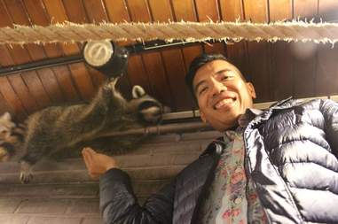 Man reaching for raccoon lying across pipe