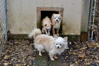 Dogs rescued from Tennessee backyard breeder
