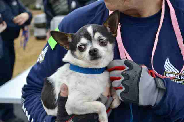 Chihuahua rescued from Tennessee backyard breeder