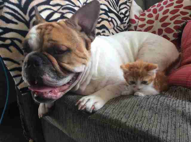 rescue kitten new zealand bulldog