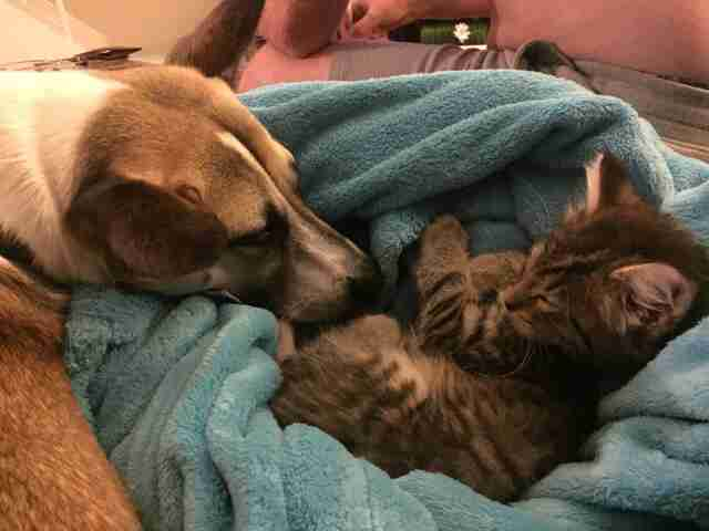 Dog sniffing kitten in blanket