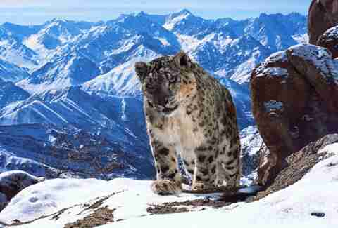 snow leopard planet earth