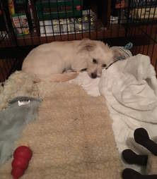 Darcy relaxing in her crate after being spayed