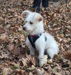 Darcy the terrier out for a walk in the leaves