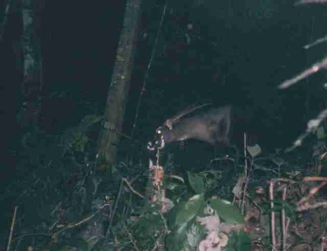 Rare 'Asian unicorn' or saola