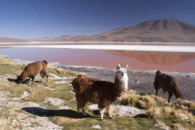 Llamas in the Bolivian Altiplano