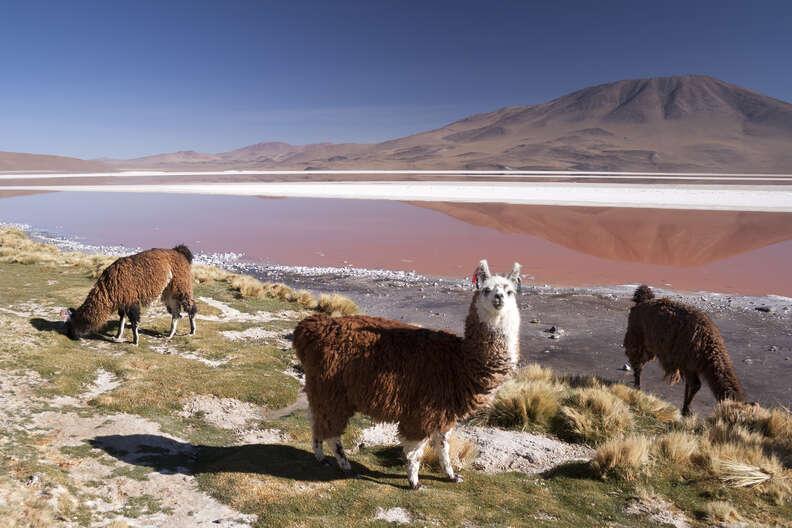 Llamas in the Bolivian Altiplano