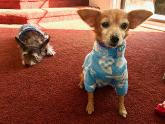Blanche senior dog gets new sweaters