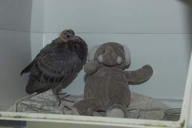 baby pigeon gets a stuffed elephant