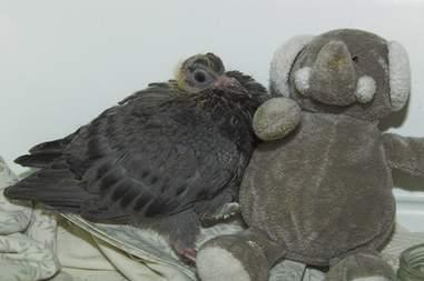 baby pigeon gets stuffed elephant