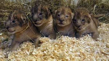 lion cubs sweden zoo killed