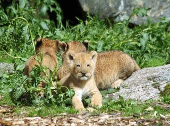 lion cubs swedish zoo killed