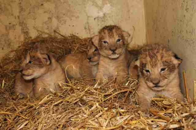 sweden lion cubs surplus killed