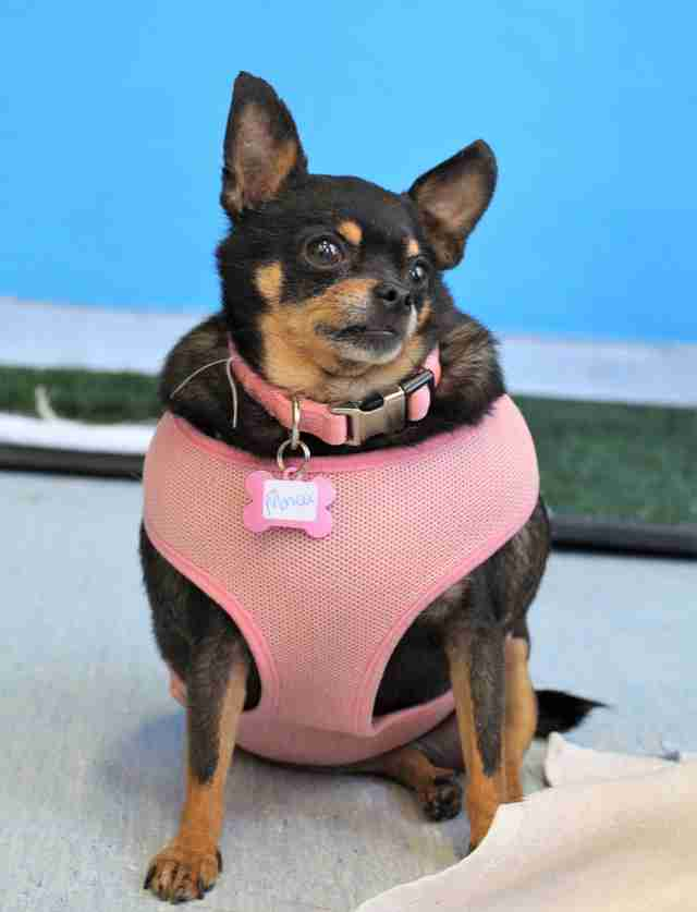 chihuahua fat fat chihuahua could barely walk before her rescuers 2580