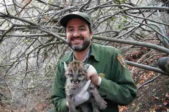 california rat poison mountain lion