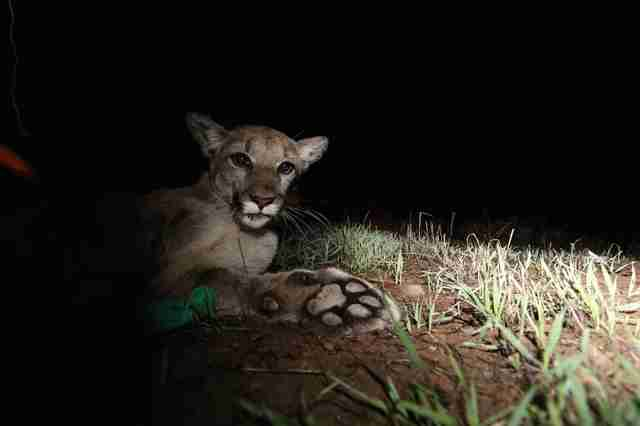 mountain lion california rat poison