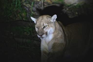 california mountain lion rat poison