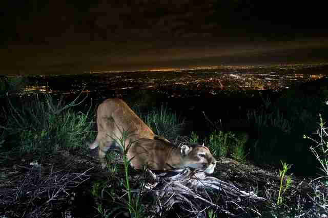 mountain lion california rat poisoning