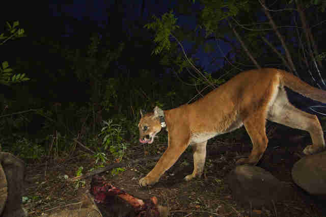 california mountain lion rat poison